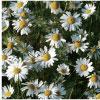ANTHEMIS NOBILIS FLOWER EXTRACT ホソカワミクロン株式会社 マテリアル事業本部 Hosokawa Micron