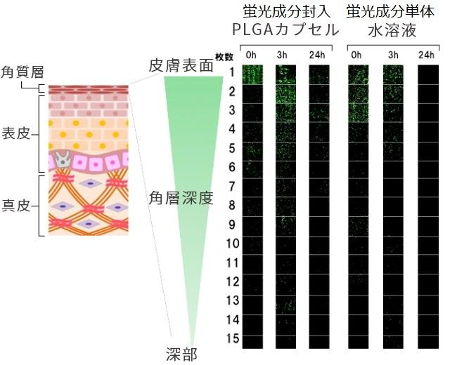 PLGAカプセルの角質層への浸透性